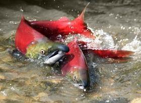 salmon-varon-hembra
