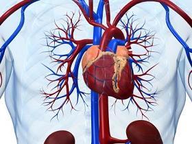 Vasos sanguíneos del músculo del corazón